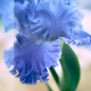 Blue peony.